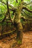 Stary przegięty drzewny dorośnięcie w polanie Zdjęcia Royalty Free