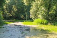 Stary przerastający zielony staw otaczający wierzbami Typowy rosyjski lato krajobrazu widok zdjęcia stock