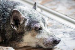 Stary psa zakończenie up Zdjęcia Royalty Free