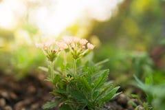 Stary różany verbena hybrida okwitnięcia kwiat Zdjęcie Royalty Free