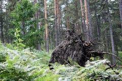 Stary rój w lesie Zdjęcia Royalty Free