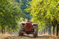 Stary rolnik zbiera śliwki z ciągnikiem Fotografia Royalty Free