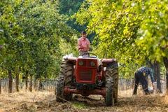 Stary rolnik zbiera śliwki z ciągnikiem Zdjęcia Stock