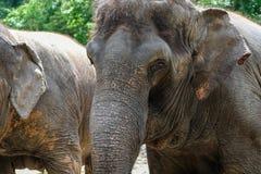 Stary słoń głowy zakończenie up Obraz Stock