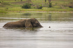 Stary słonia byka dopłynięcie w Jeziornym Akagera Obraz Stock