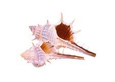 stary seashell Zdjęcie Stock