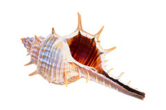 stary seashell Obraz Stock