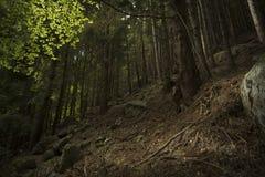 Stary sosnowy lasowy jesień sezon Obraz Stock