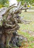 Stary spadać drzewo Fotografia Royalty Free