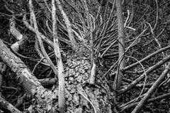 Stary spadać drzewo w lasowej Czarny i biały fotografii zdjęcie royalty free