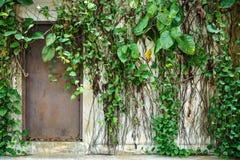 Stary stalowy drzwi niezmiennie porzucający dom zakrywający z bluszczem Obraz Royalty Free