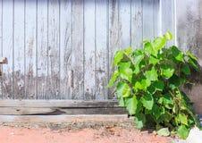 Stary starzejący się biały kolor malujący szorstki drewniany panel deski ogrodzenia ściany tło z dziką małą rośliną artykułów tła obrazy royalty free