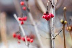 Stary suchy czerwony jagodowy zbliżenie na niewyraźnym tle Zdjęcie Stock