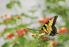 stary swallowtail świat obraz royalty free