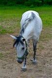 Stary szary koń Fotografia Royalty Free
