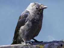 Stary szary ptak obrazy royalty free