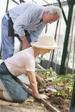 stary szklarniany sadzenie nasion kobiety Obrazy Royalty Free