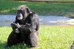 Stary szympansa portret Zdjęcia Stock