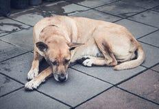 Stary tajlandzki pies w dużym mieście Obrazy Stock