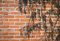 Stary tekstury ściana z cegieł, tło, wyszczególniający wzór zakrywający w bluszczu zdjęcie stock