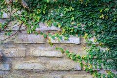 Stary tekstury ściana z cegieł, zakrywający w bluszczu obraz royalty free