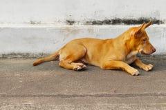 Stary thai dog Stock Image