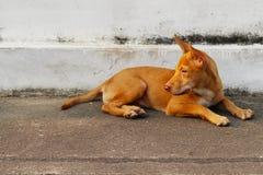 Stary thai hund Royaltyfria Bilder