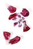 stary tulipan Obrazy Stock