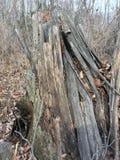 Stary uszkadzający drzewo las jesieni Fotografia Royalty Free