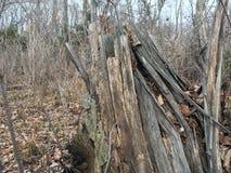 Stary uszkadzający drzewo las jesieni Obrazy Royalty Free