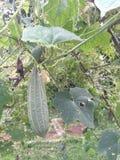 Stary warzywo Obraz Stock