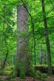 Stary wielki dębowy drzewo z łamany jeden w tle Fotografia Royalty Free