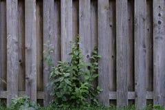 Stary Wietrzejący Węźlasty Sosnowego drewna ogrodzenie z ulistnieniem Obraz Stock
