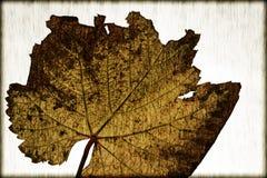 Stary wino liść od winnicy Zdjęcia Royalty Free