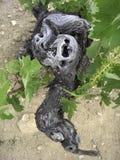 stary winogronowy winorośli serii Zdjęcie Royalty Free