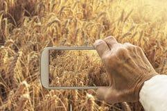 Stary wyga bierze fotografię pszeniczny pole Fotografia Stock