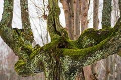 Stary zakrywający drzewo w zimie odchodowy zdjęcie stock