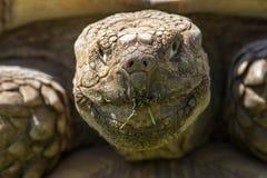 stary zegar Żywy dinosaura zwierzę Krakingowa marszcząca twarz afri fotografia royalty free