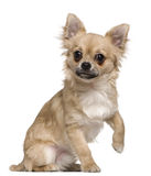 starych chihuahua 6 miesiąc Obrazy Royalty Free