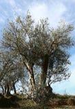 Starych oliwka krajobrazu Albania drzew nieba odbicia jeziornych wspaniałych halnych wzgórzy ablero parka drzewna panorama obrazy stock