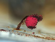 Starzejący się czerwony owocowy ciało szlamowej foremki Physarum roseum na błękitnym tle Obrazy Royalty Free