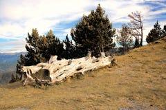 Starzejący się Drzewnego bagażnika Kłama na zboczu góry Zdjęcia Royalty Free