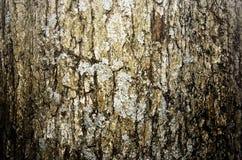 starzejący się korowaty drzewo Fotografia Royalty Free