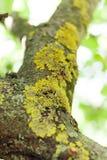 Starzejący się korowaty drzewo, liszaj symbioza, algi tło obrazy stock