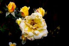 Starzenie koloru żółtego róża Fotografia Royalty Free