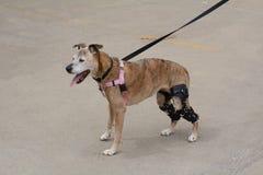 Starzenie się bokser mieszał trakenu psa z kolanowymi brasami Obraz Stock