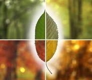 Starzenie się czereśniowego drzewa liść w jesieni obraz stock