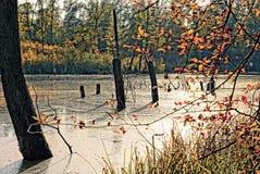 Starzy bagażniki drzewa w lasowym jeziorze Obrazy Stock