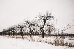 Starzy brzoskwini drzewa w zimy scenerii zdjęcie royalty free