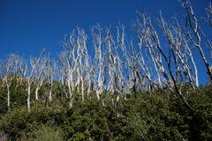 Starzy Burnt drzewa bierze nowym przyrostem Fotografia Stock